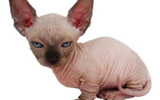 Стоимость кошки породы сфинкс (кота Чучи Алибасова) – цена в Москве и СПб, цена котенка