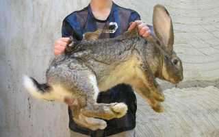 Лучшие домашние породы кроликов