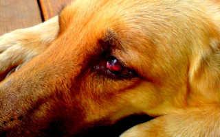 Проблемы и болезни глаз у мопсов – почему у мопса слезятся, краснеют или гноятся глаза.