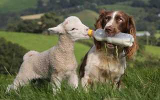 Бруцеллёз у собак – симптомы и лечение заболевания