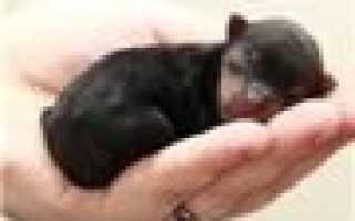 Фото щенков Ши-тцу с 1 по 12 месяц, развитие с рождения до 1 года.
