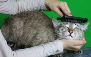 Шерсть и кожа здоровой кошки. Как ухаживать за шерстью кошки?