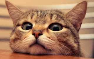 Что делать и как отучить кошку лазать по столам