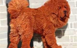 Самый большой тибетский мастиф – самая дорогая собака в мире, фото и видео
