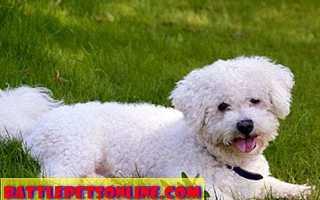 Аутоиммунная гемолитическая анемия у собак (АГА)