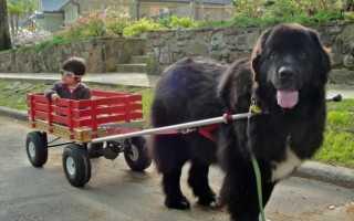 Фото щенков ньюфаундленда с 1 месяца по 6 — вес и рост собаки.