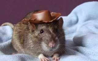 Как назвать крысу: имена и клички для крысы мальчика и девочки