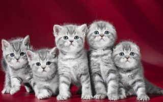 Шотландский котенок в 2 месяца: фото, чем кормить, вес и размер.