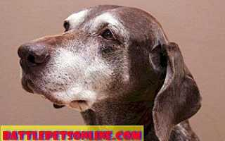 Диагностика и лечение деменции (слабоумия) у собак