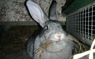 Кролики великаны – породы и фото. 5 гигантских кроликов великанов, белых и серых.