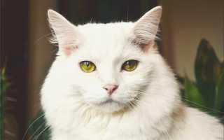 Память у кошек – долговременная и кратковременная. Сколько длится, память кошек на людей.