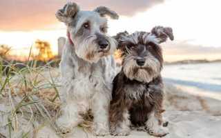 Миттельшнауцер – фото, описание и характер собаки породы шнауцер. Цена, фото и видео миттельшнауцера и шнауцера, содержание и болезни.