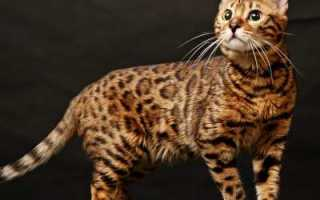 Вес бенгальской кошки и кота – вес и рост взрослой кошки.