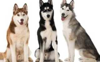Окрасы Хаски – фото с описанием: агути, белый, черный, палевый, рыжий, волчий серый и др.