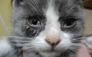 Почему у кошки слезятся глаза? Что делать, если у кошки текут глаза, или идут слезы из глаз.