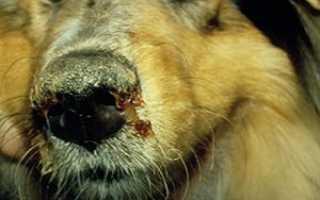 Заболевания собак и как их распознать. Симптомы и лечение болезней у собак