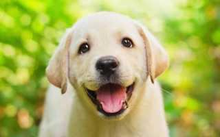 Клички и имена для собак мальчиков лабрадоров – для черного, палевого, белого, шоколадного и др.