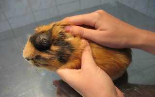 Основные заболевания морских свинок – симптомы и лечение