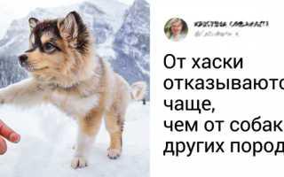 Как хаски переносят мороз, почему линяют и как защищены в собачьих упряжках во время бега.