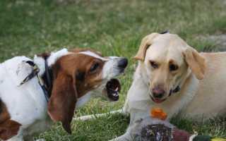 Почему собака лает на других собак – как отучить и что делать, если овчарка лает на собак.