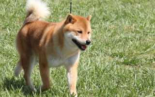 Клички для собак Сиба-ину девочек и мальчиков.