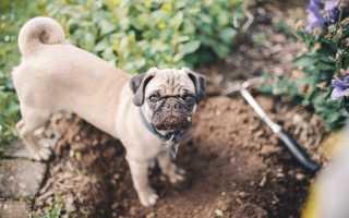Почему собака роет ямы во дворе. Что делать, если собака роет землю или пол в квартире.