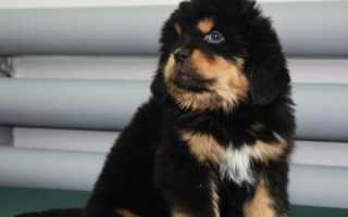 Как назвать тибетского мастифа – список кличек для собак девочек и мальчиков.