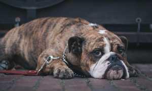 Стригущий лишай у собак – симптомы и лечение грибковой инфекции