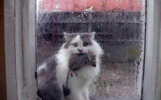 Почему кошки мучают и играют с мышью? Почему кошка приносит мышь домой?