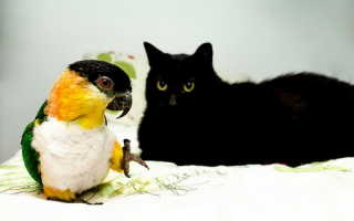 Кошка и попугай, канарейка – как подружить и содержать в одном доме, видео.