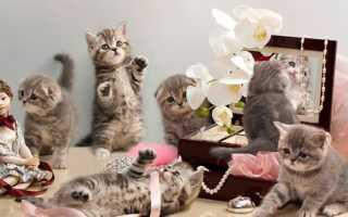 Имена и клички для шотландских кошек и котят девочек, вислоухих и прямоухих.