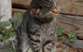 Почему собака или кошка трясет головой и чешет уши – что делать, животное постоянно чешет голову и уши.