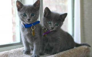Клички для русской голубой кошки, кота – красивые имена для мальчика и девочки