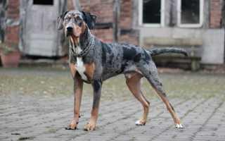 Собака, которая лазит по деревьям и имеет перепончатые лапы – Леопардовая собака Катахулы, фото и видео
