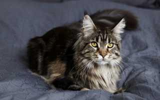 Имена и клички для котов и котят мальчиков мейн-кун.
