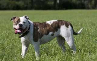 Топ-10 самых популярных американских пород собак – популярные попроды в США с фотографиями.