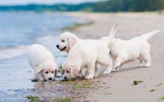 Социализация щенка: ключ к хорошо уравновешенной собаке
