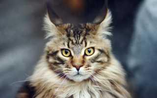 Самые большие породы домашних кошек – фото и описание. Очень большие кошки – Мейн-кун, Рэгдолл, Рагамаффин, Шаузи и Саванна.