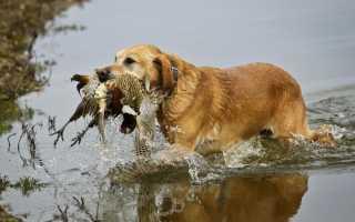 Охотничьи породы собак с фотографиями и названиями. Фото 10 пород собак для охоты на птицу и других животных.