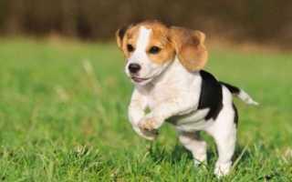 Вес и рост щенков басенджи по месяцам