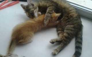 Отлучение котят от кошки. Как забирать котенка от кошки?
