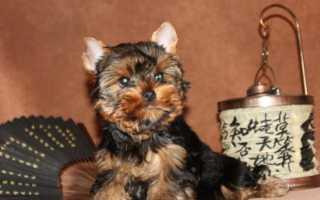 Имена и клички для собак мальчиков йорков. Как назвать йорка мальчика – красивые и оригинальные имена.