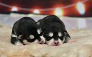 Хаски в 3 месяца: фото и видео щенка, чем кормить, вес и размер, воспитание .