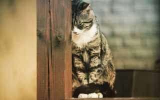 Панкреатит у кошек – симптомы, причины развития и лечение