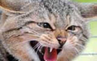 Бешенство у кошек – признаки, симптомы, профилактика и лечение