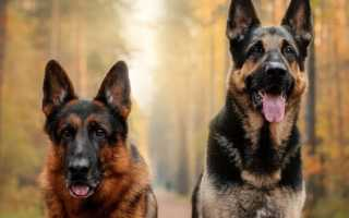 Окрасы немецкой овчарки: фото щенков и собак с описанием