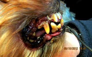 Болезни зубов у собак: налет и камни, шатаются зубы.