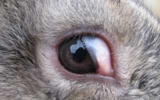 Конъюнктивит у кролика — причины, симптомы и лечение