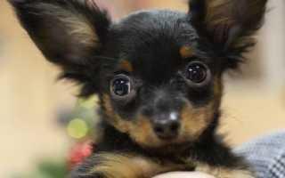 Прикольные клички и имена для собак девочек маленьких пород – для той терьеров, такс, чихуахуа и др.