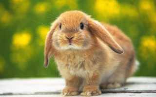 Блохи у кроликов – симптомы и лечение. Как выводить блох у кроликов?
